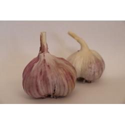 Česnek odrůda Ivan 1kg