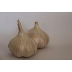 Česnek odrůda Štěpán 1kg